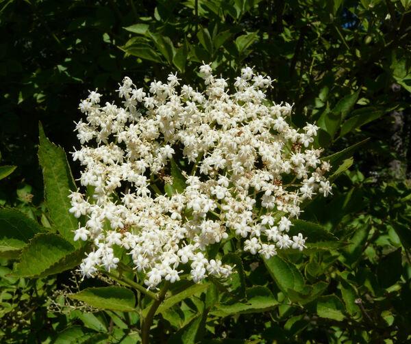 Sambucus nigra L. 'Viridis'