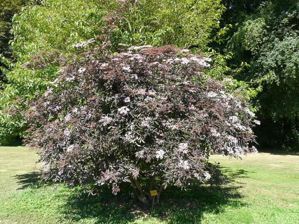Sambucus nigra L. 'Black beauty - Gerda'