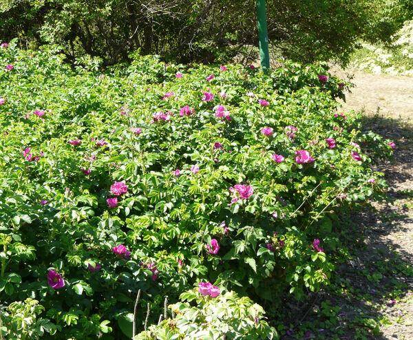 Rosa rugosa Thunb.