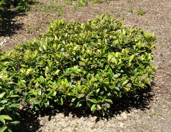 Skimmia japonica Thunb. 'Rubella'