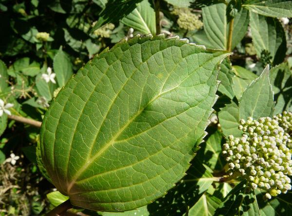 Hydrangea macrophylla (Thunb.) Ser. 'Mariesii Lilacina'