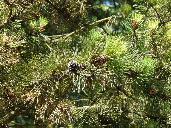 Pinus sylvestris L. 'Watereri'