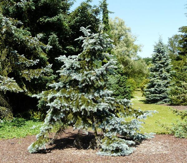 Picea pungens Engelm. 'Hoopsii'