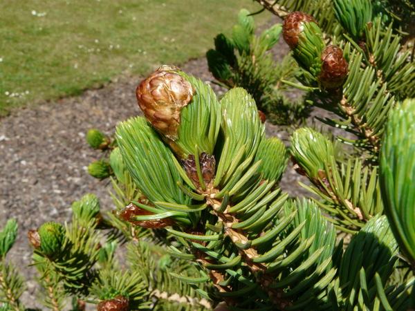 Picea polita (Siebold & Zucc.) Carrière