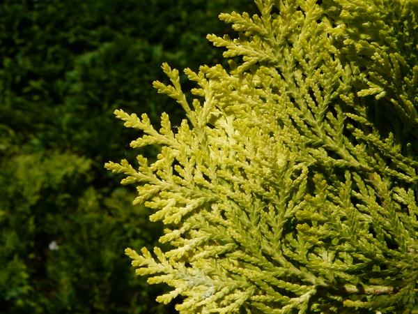 Platycladus orientalis (L.) Franco 'Aurea Nana'