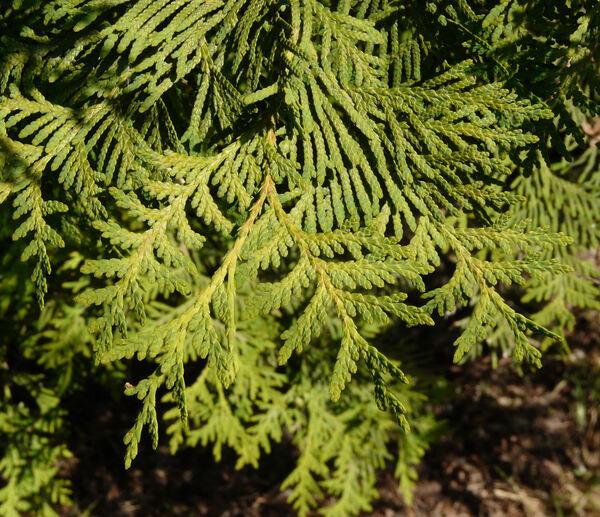 Thuja occidentalis L. 'Alba'