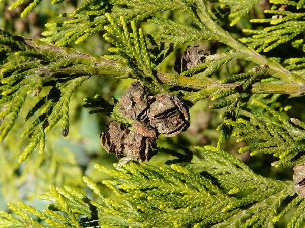 Chamaecyparis lawsoniana (Murray) Parl. 'Moerheimii'