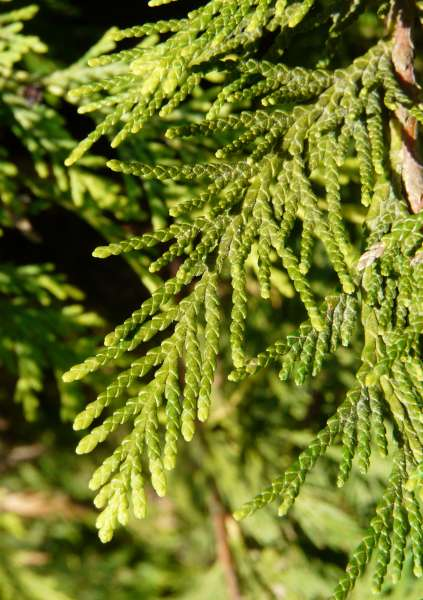 Chamaecyparis lawsoniana (Murray) Parl. 'Westermannii'