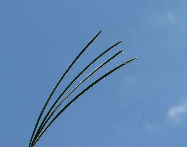 Pinus parviflora Siebold & Zucc. 'Glauca'