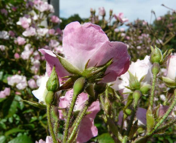 Rosa 'Diamant Rose'
