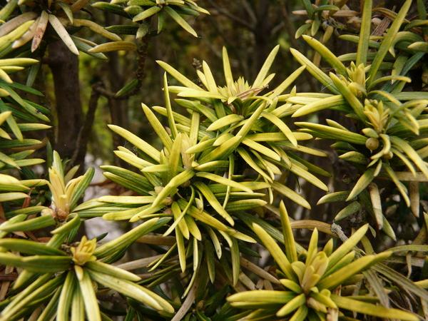 Taxus baccata L. 'Standishii'