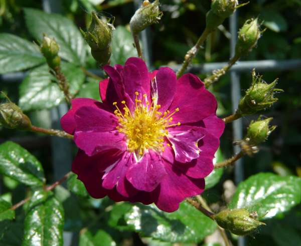 Rosa 'Rose-Marie Viaud'