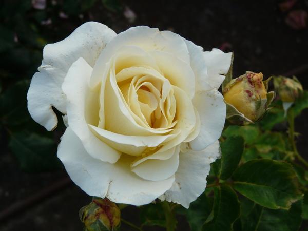 Rosa 'Chopin'