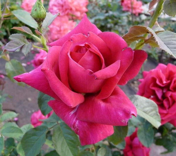 Rosa 'Prof. Chris Barnard'