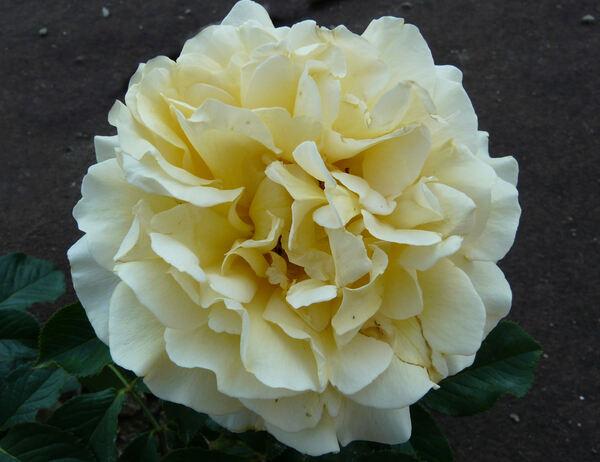 Rosa 'Breathtaking'