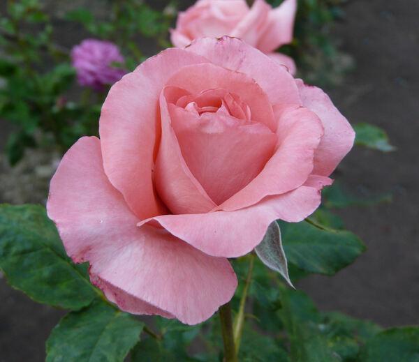 Rosa 'Arthur Rimbaud ®'