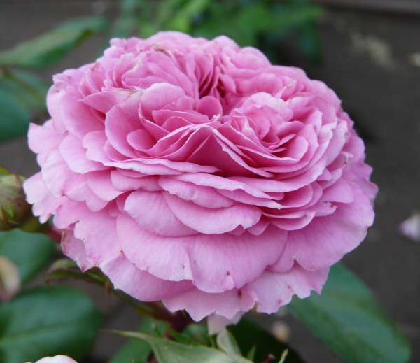 Rosa 'Baronesse ®'