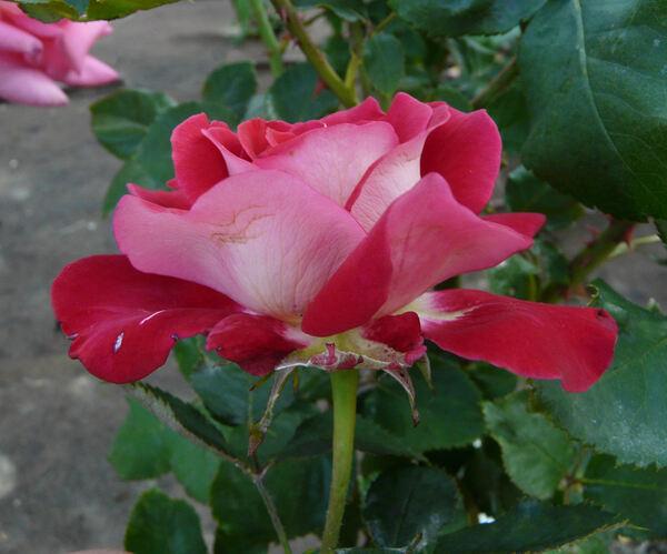 Rosa 'Atalante ®'