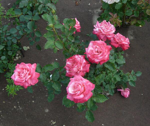 Rosa 'Happiness'