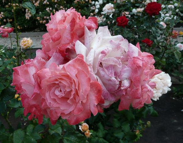Rosa 'Big Apple ® '