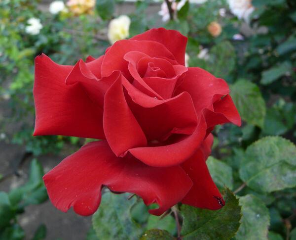 Rosa 'Grande Amore ®'