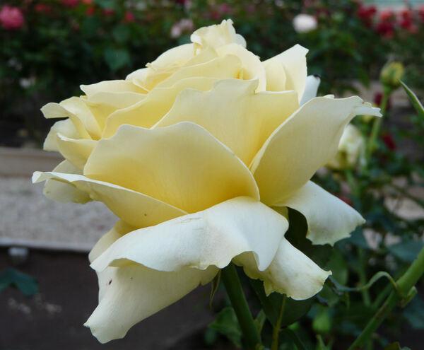 Rosa 'Tivoli Gardens'