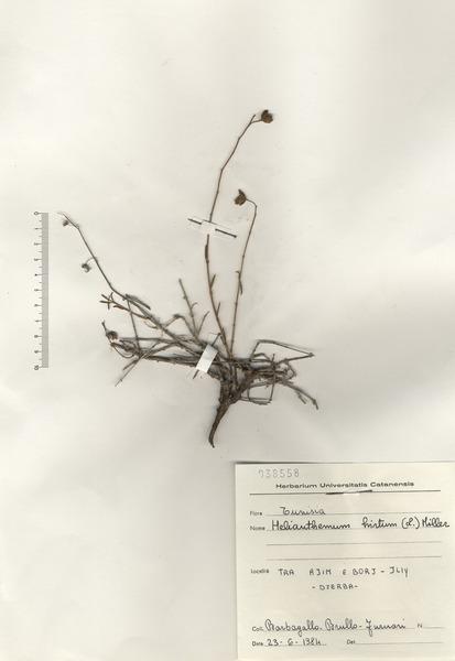Helianthemum hirtum (L.) Miller