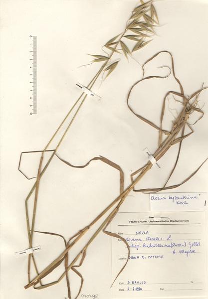 Avena sativa L. subsp. byzantina (K.Koch) Romero Zarco