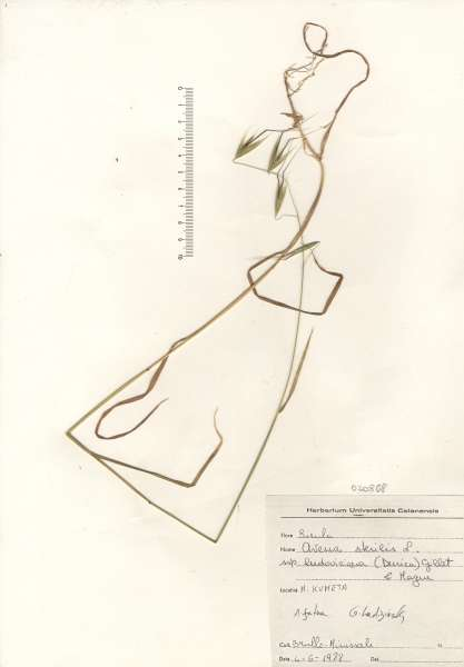 Avena sterilis L. subsp. ludoviciana (Durieu) Gillet & Magne