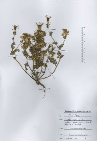 Nigella arvensis L. subsp. glaucescens (Guss.) Greuter & Burdet