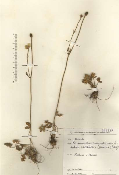 Ranunculus monspeliacus L. subsp. saxatilis Nyman