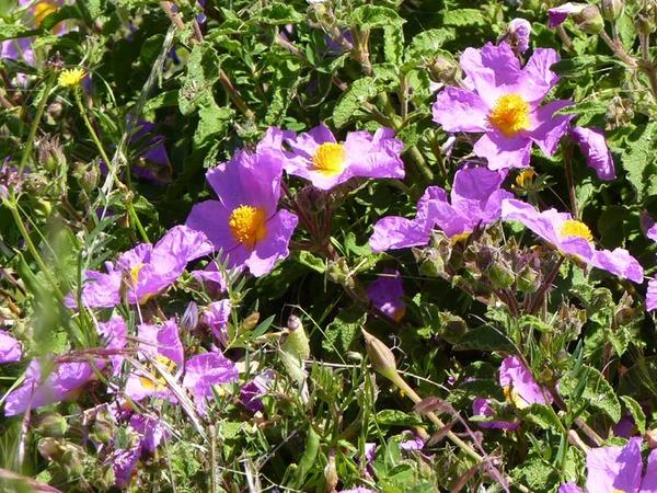 Cistus creticus L. subsp. corsicus (Loisel.) Greuter & Burdet