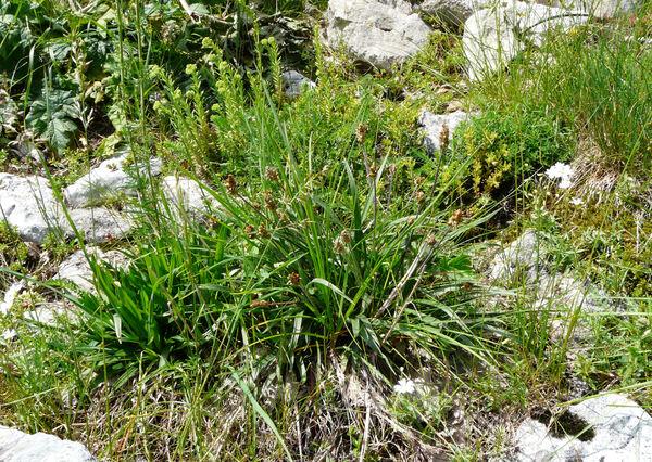 Plantago atrata Hoppe subsp. atrata