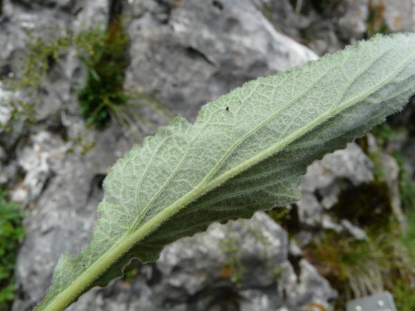 Campanula petraea L.