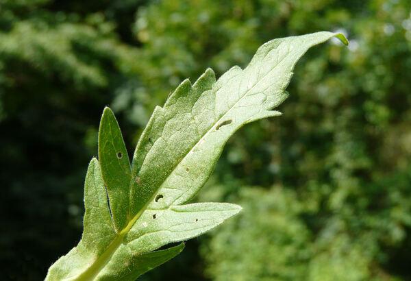 Knautia baldensis A.Kern. ex Borbás