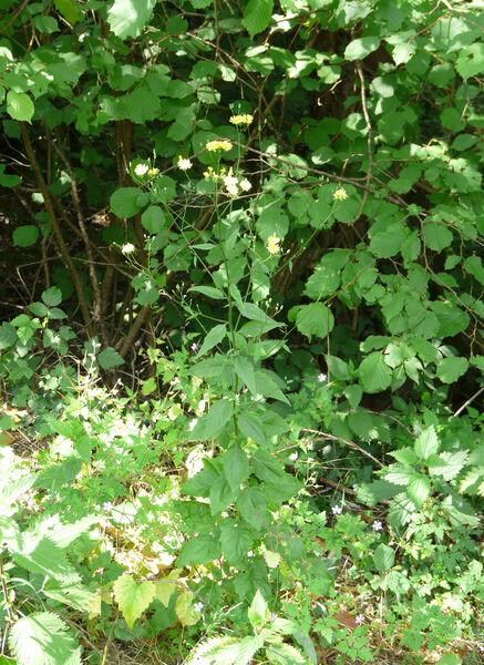 Lapsana communis L. subsp. communis