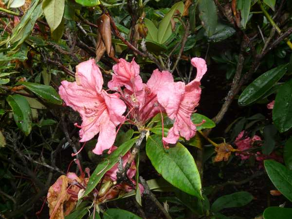 Rhododendron 'Fire Bird'