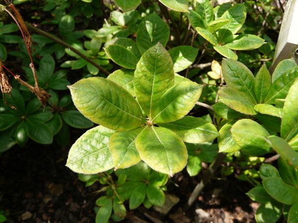 Rhododendron viscosum (L.) Torr. 'Rosata'