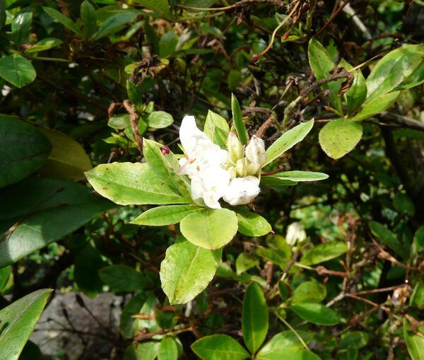 Rhododendron viscosum (L.) Torr.