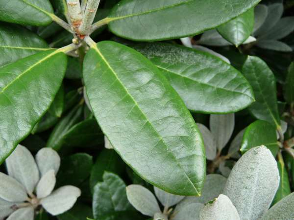 Rhododendron pseudochrysanthum Hayata 'Golfer'
