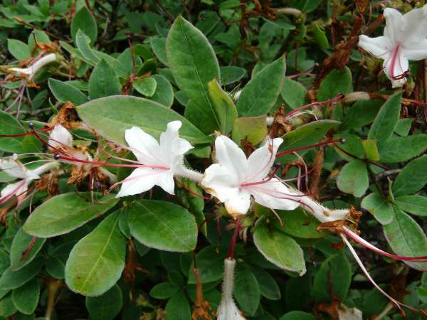 Rhododendron arborescens (Pursh) Torr.