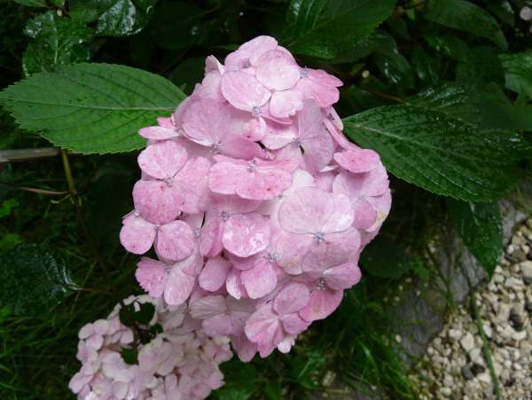 Hydrangea serrata (Thunb.) Ser. 'Pink Beauty'