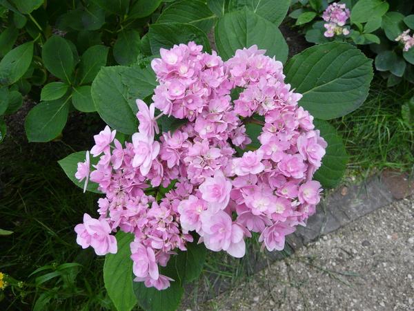 Hydrangea macrophylla (Thunb.) Ser. 'Passion'