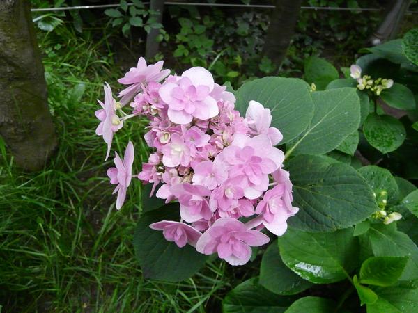Hydrangea serrata (Thunb.) Ser. 'Wilsonii'