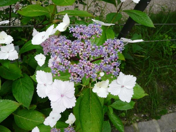 Hydrangea macrophylla (Thunb.) Ser. 'Nadeshiko Gaku'