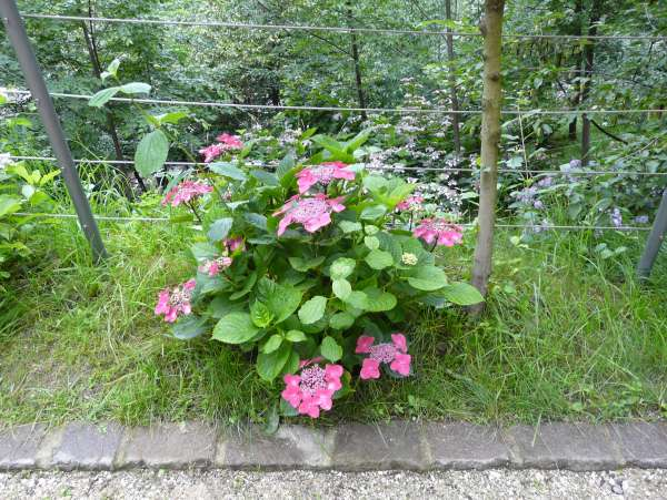 Hydrangea macrophylla (Thunb.) Ser. 'Rotdrossel'