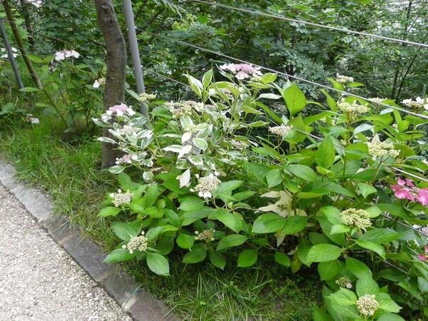 Hydrangea macrophylla (Thunb.) Ser. 'Aureomarginata'