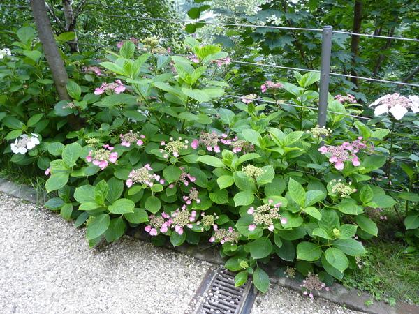 Hydrangea macrophylla (Thunb.) Ser. 'Mousmée'