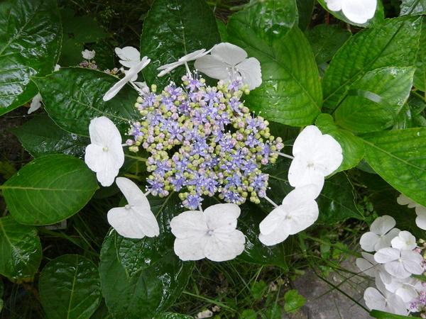 Hydrangea macrophylla (Thunb.) Ser. 'Zeisig'