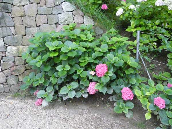 Hydrangea macrophylla (Thunb.) Ser. 'Chaperon Rouge'